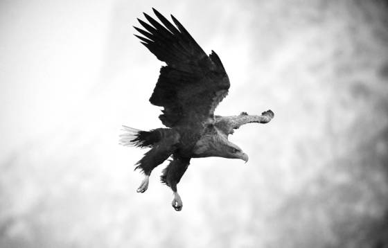 Whitetailed_sea_eagle