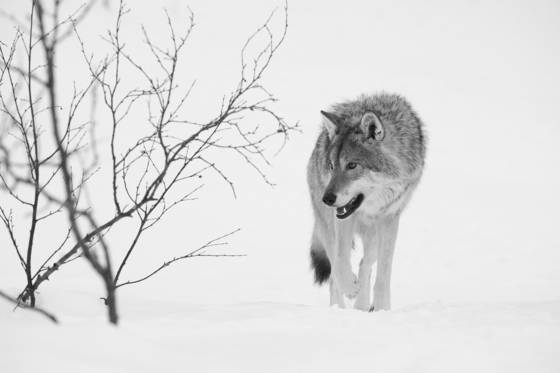 Wolf_in_snow
