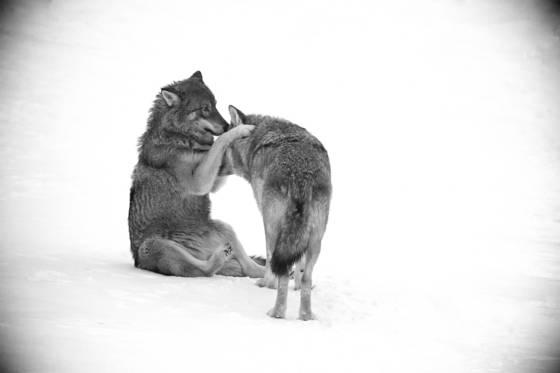 Wolf_love