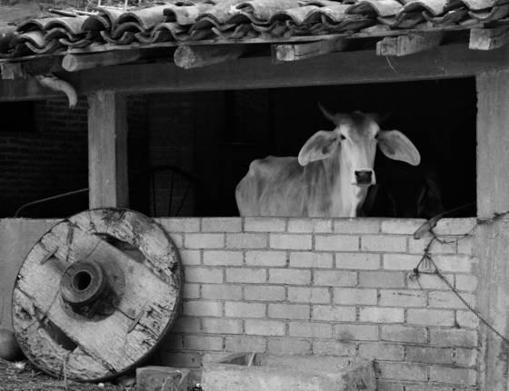 La_vaca