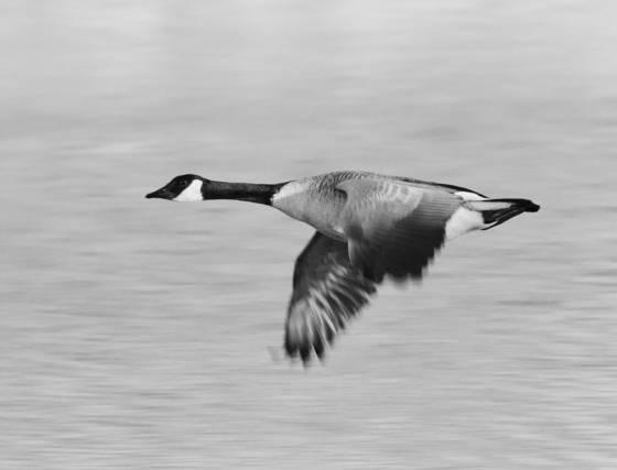 Goose_5