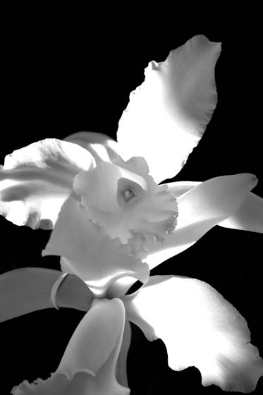 Orchid_s_heart
