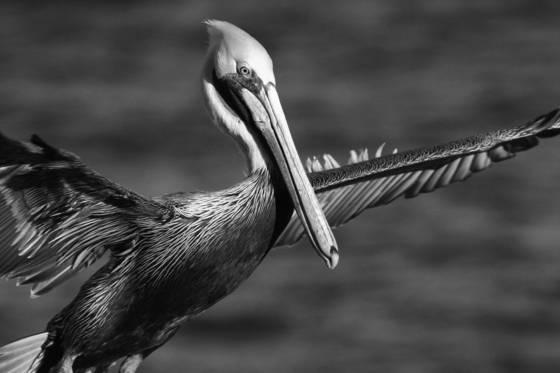 Pelican_in_waves