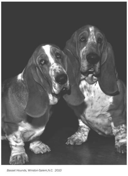 Basset_hounds