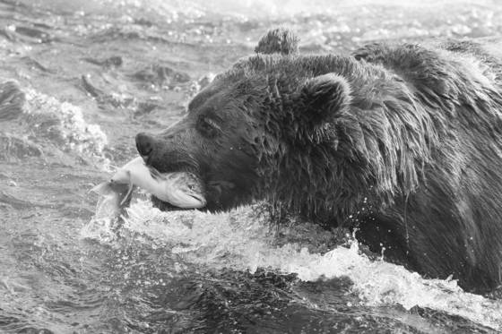 Brown_bear_with_salmon