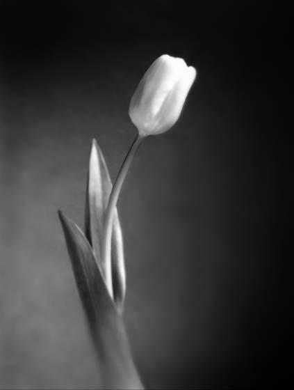 Single_tulip