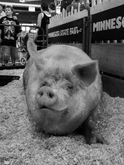 Largest_boar