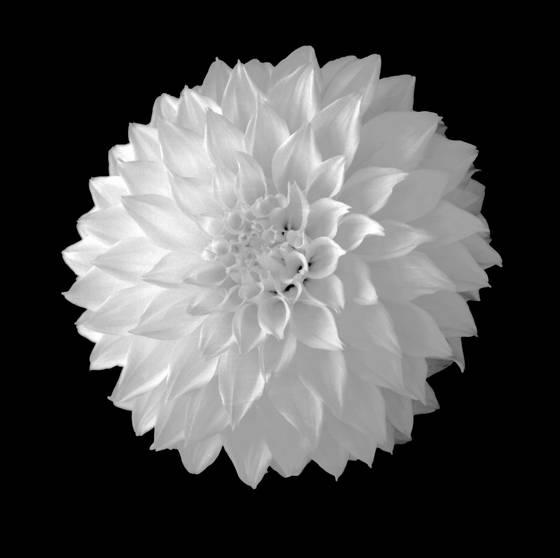 White_dahlia