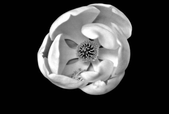 White_magnolia_1