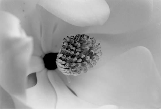 White_magnolia_2