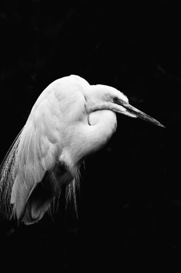 White heron palm beach fl 2012
