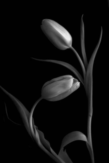 Tulipa7