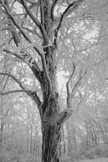 Frosted_tree
