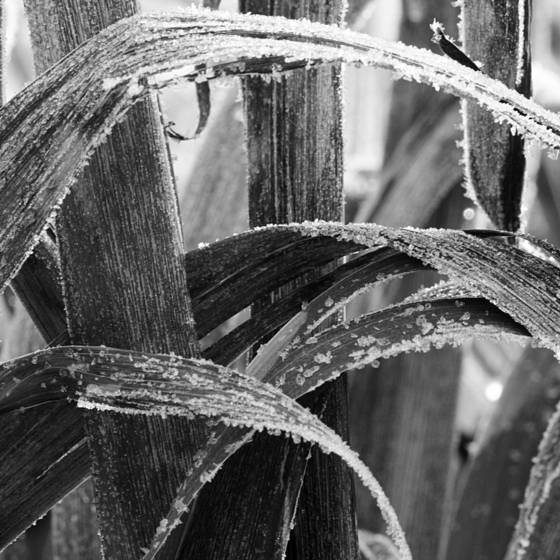 Frozen reed leaves 1