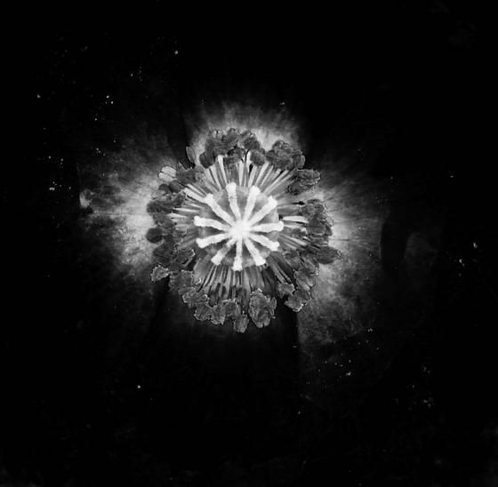 Poppy_galaxy