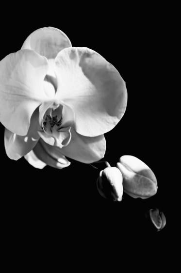 Orchid_palm_beach_fl_2012