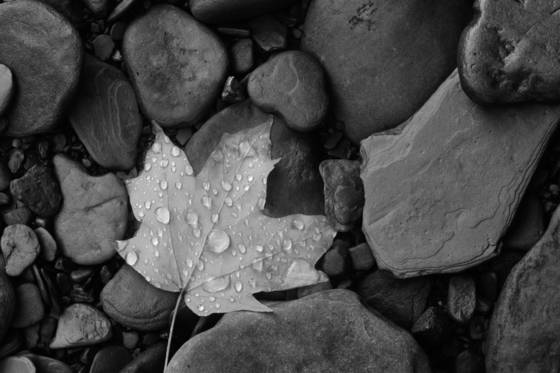 Leaf_on_river_stones