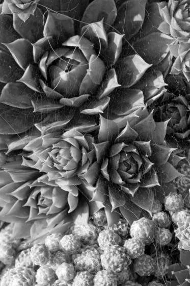Plants-houseleeks