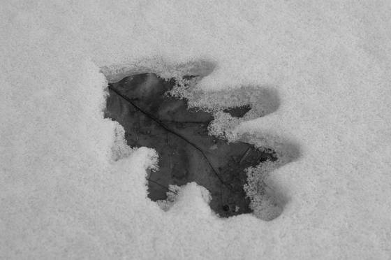 Snow_leaf