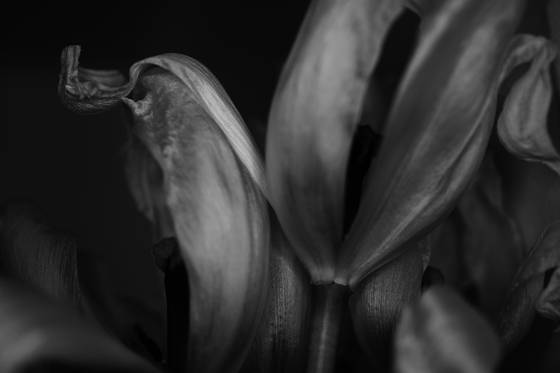 Tulips__2
