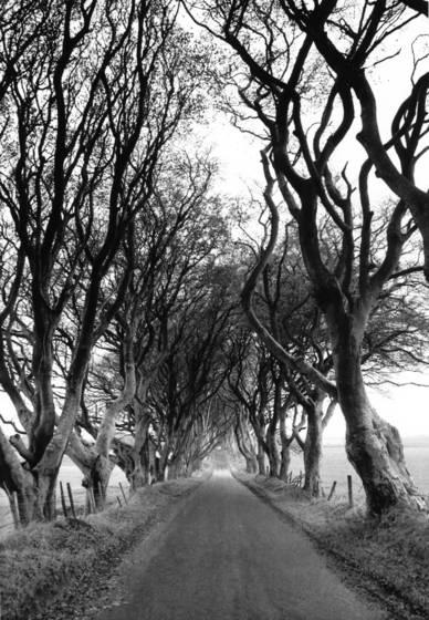 Beech_trees