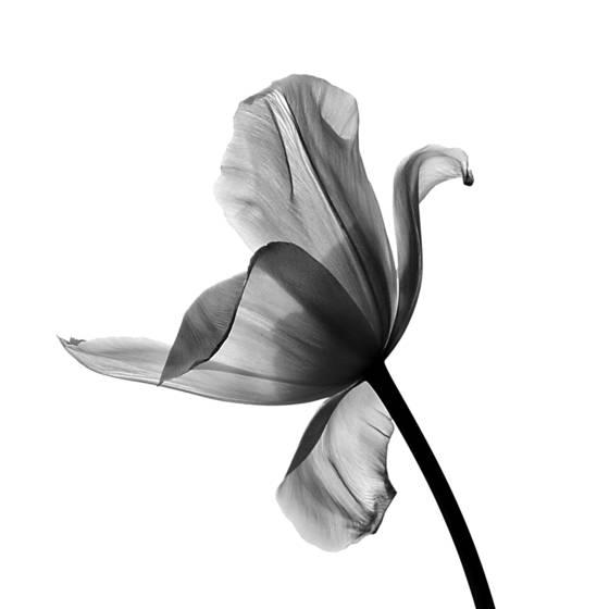 Tulip_dance