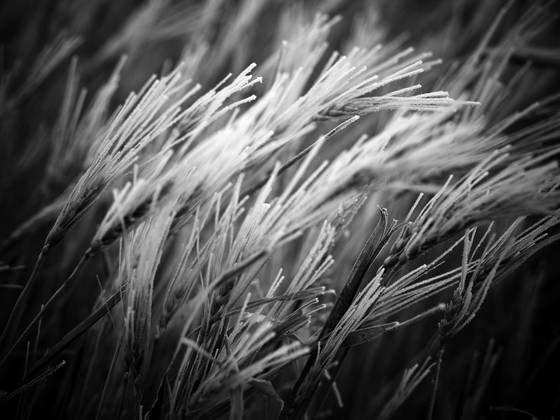 Winter wheat 1