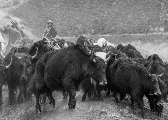 Yaks_in_the_rain
