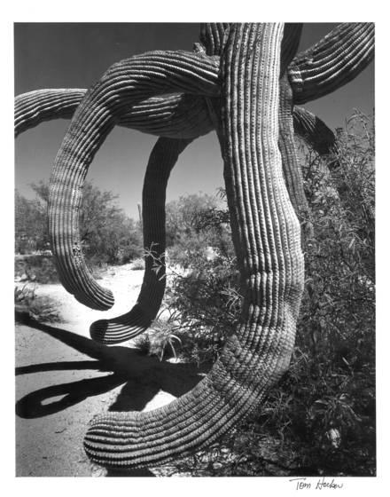 Saguaro_cactus