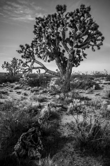 Joshua_tree_national_forest_1
