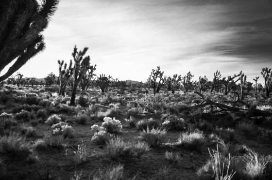Joshua_tree_national_forest_10