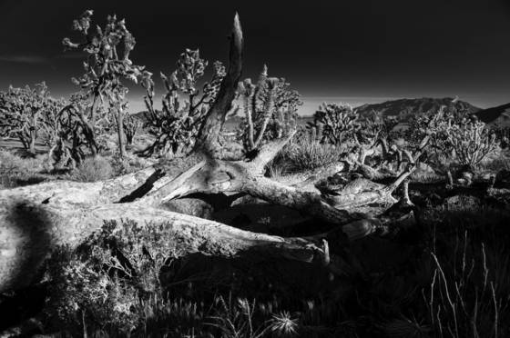 Joshua_tree_national_forest_2