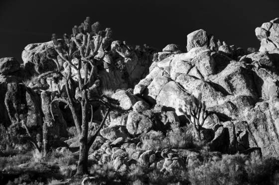 Joshua_tree_national_forest_5