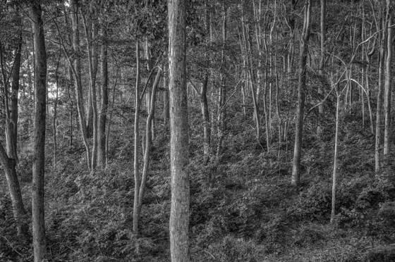 Evening_trees