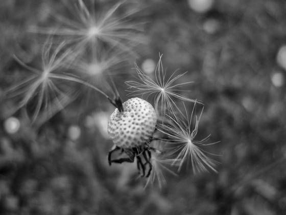 Dandelion_2_jpg