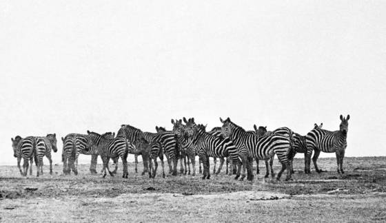 Group_of_zebras