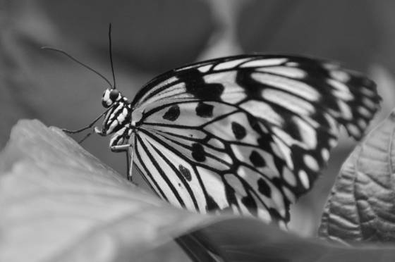 Beautiful_butterfly