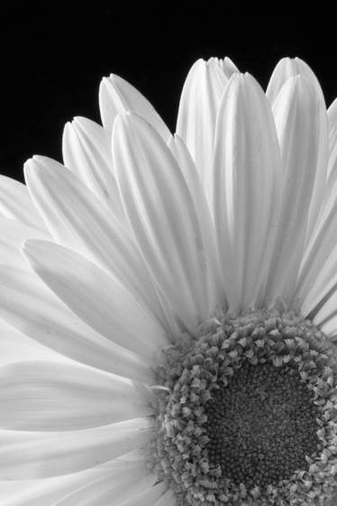 Gerbera_daisy