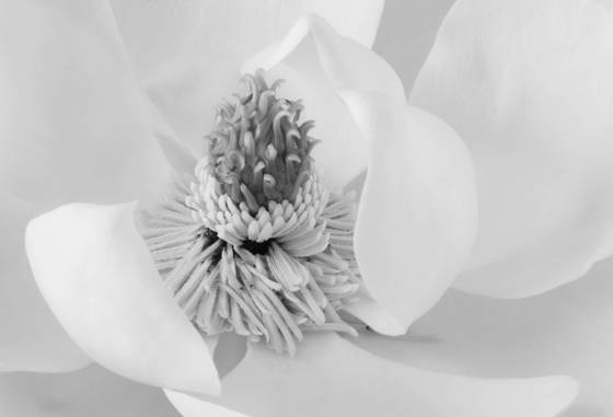 Magnolia__2