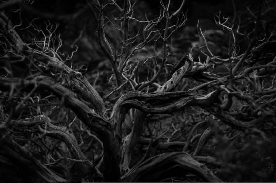 Yosemite_s_tree