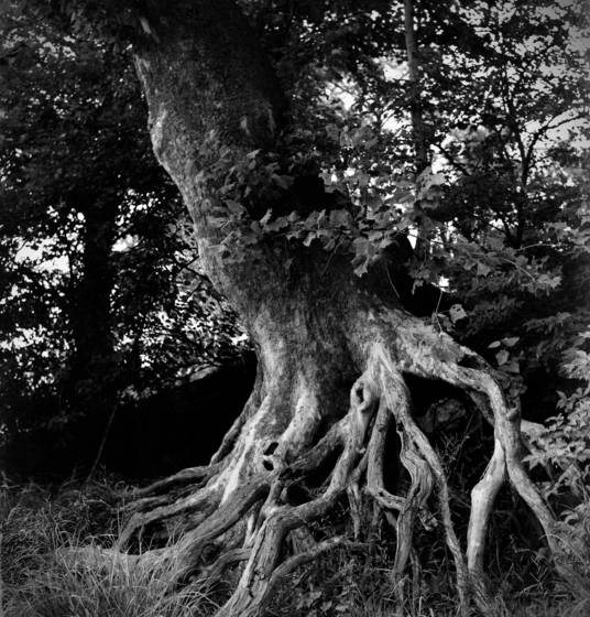 Sycamore_roots