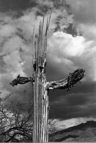 Saguaro_skeleton
