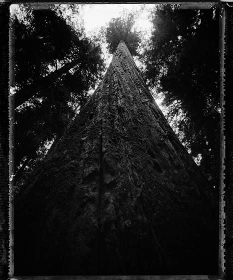Redwood_tree