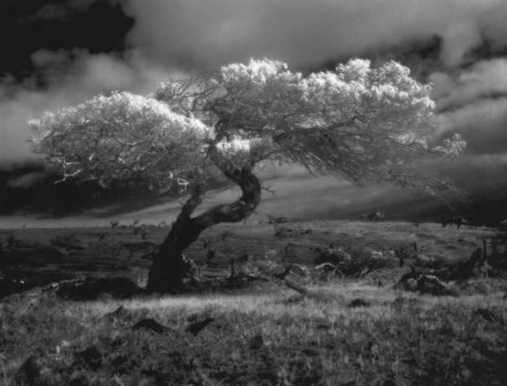 Mauna_kea_tree_study__1