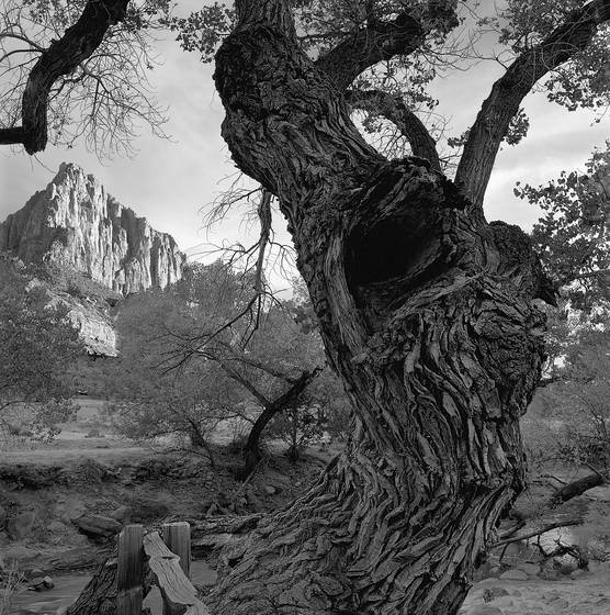 Old_cottonwood_tree