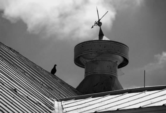 Black_pigeon