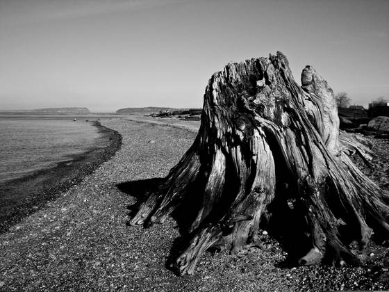 Driftwood_stump
