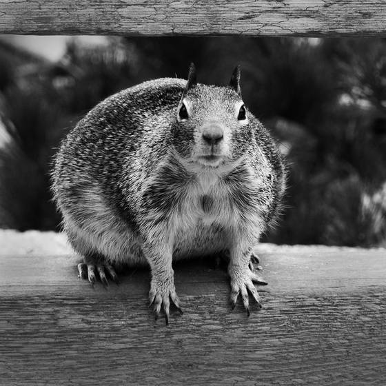 Gros_ecureuil