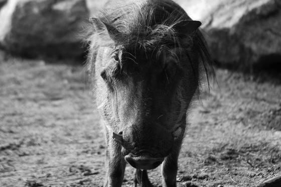 Drooling_warhog