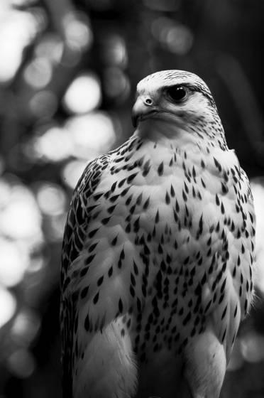 Gyr_falcon